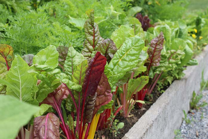 Lettuce in a raised garden bed