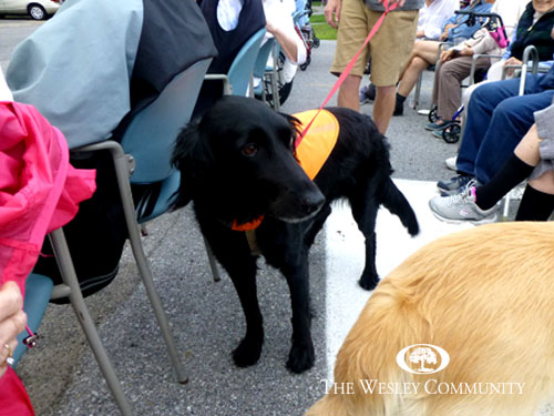 Black lab enjoying the attention from residents